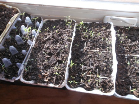 seedlings in a starter made with egg carton