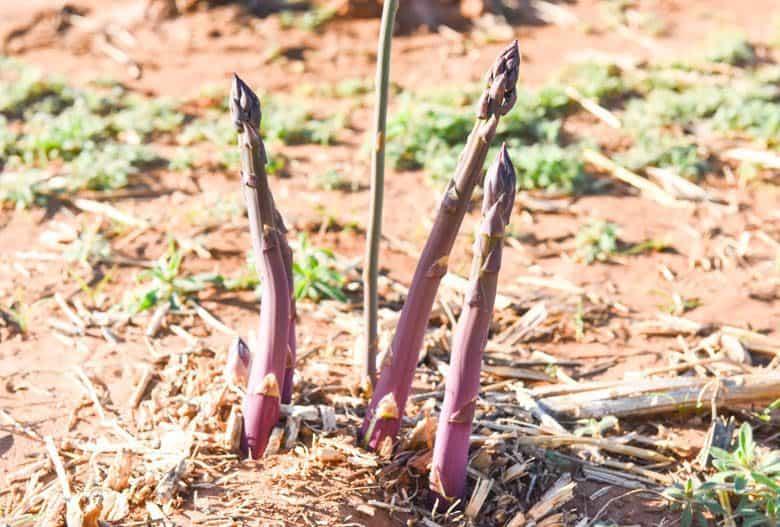Planting Asparagus Crowns - purple asparagus growing