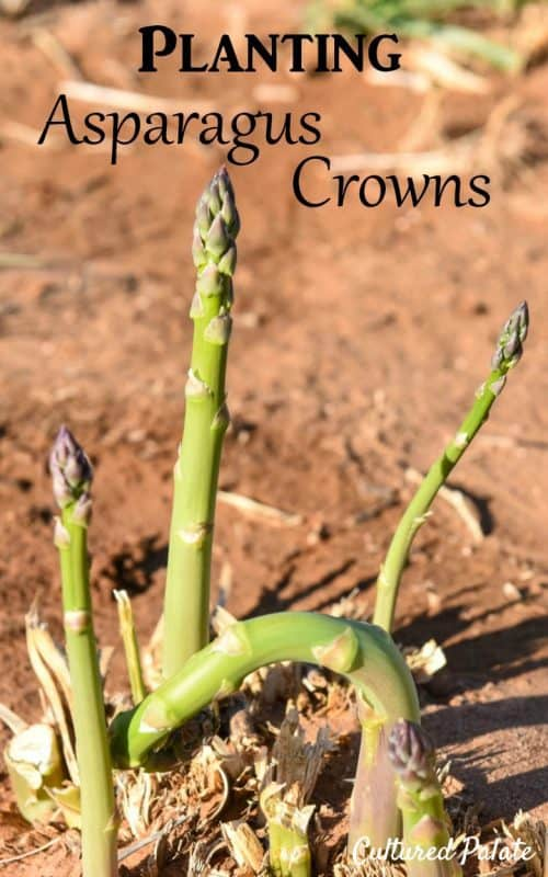 Planting Asparagus Crowns - green asparagus growing