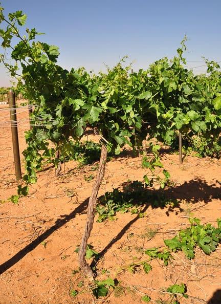de-budded vine
