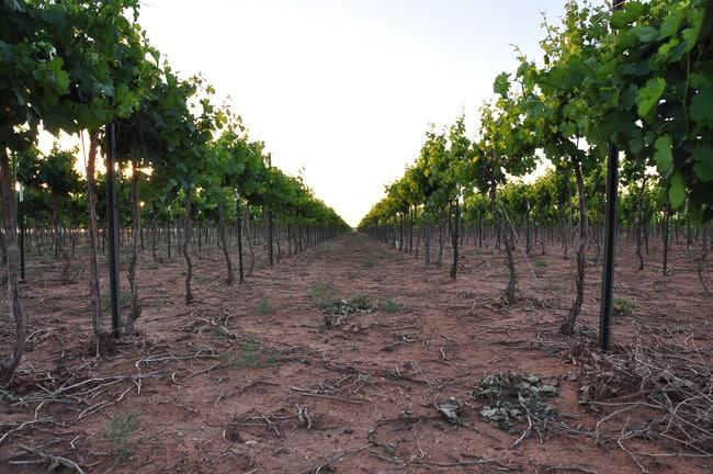 De-budded grapevine rows