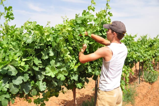 tucking grapevines