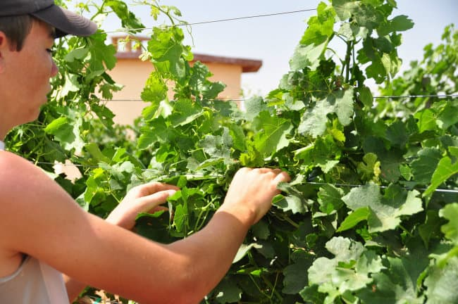 tucking grapevines - canopy management