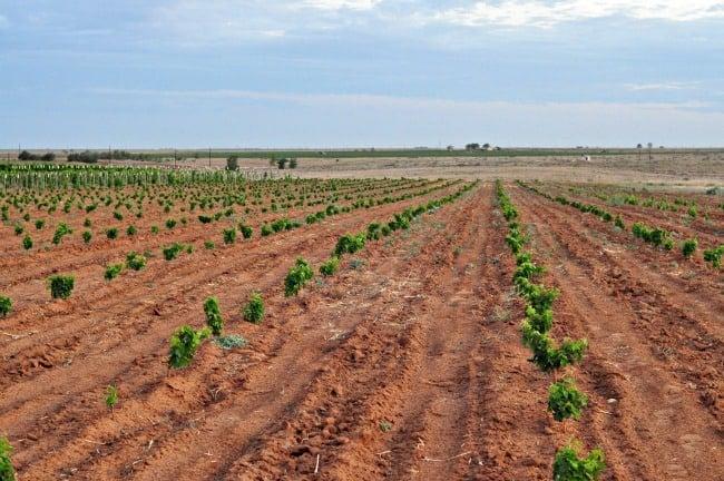 2013 grapevine planting July