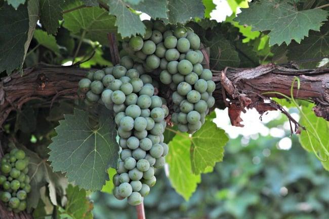 Aglianico grapes July 2013