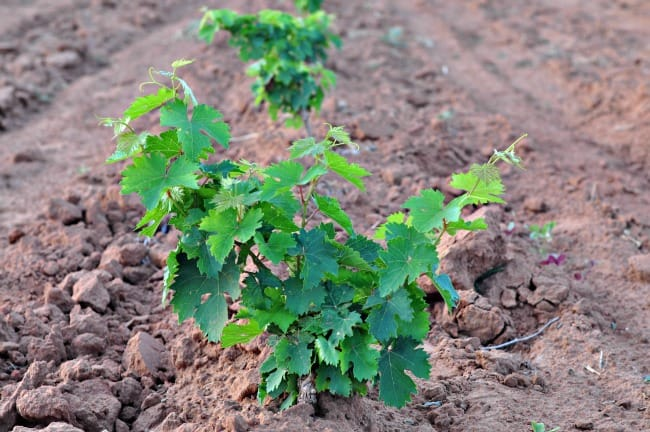 Montepulciano grapevine planted in 2013