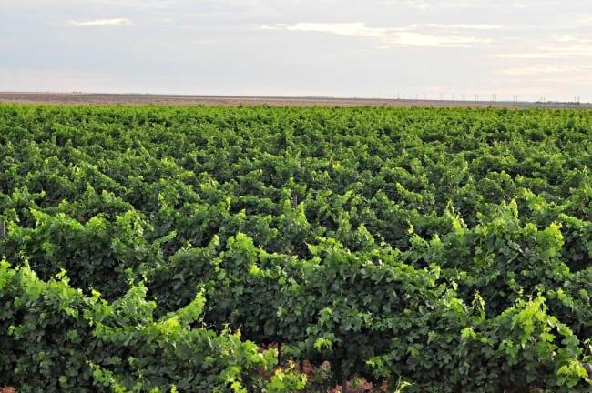 vineyard July 2013