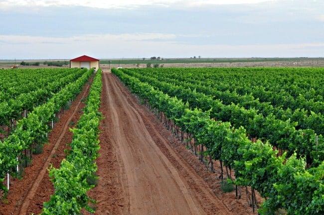 vineyard and barn July 2013