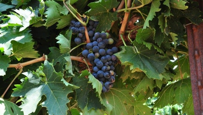 Montepulciano grape cluster