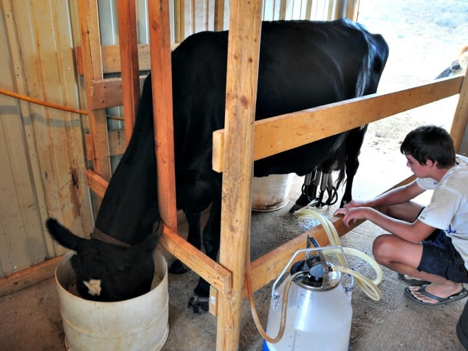 Buttercup's last milking