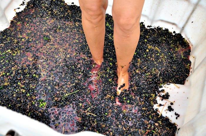 stomping Montepulciano grapes