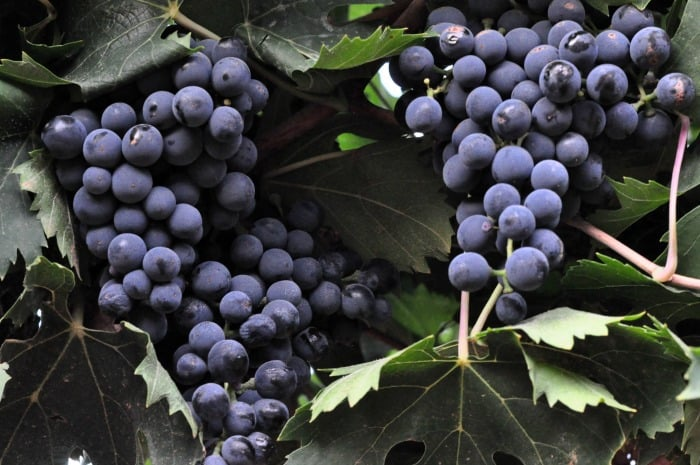 Montepulciano grape clusters