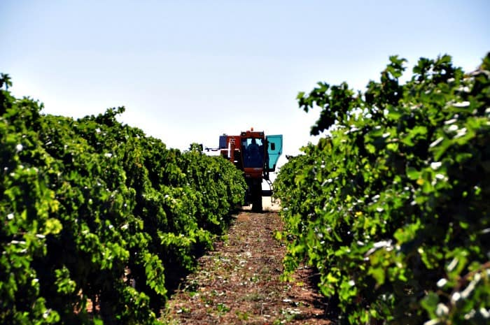 Pellenc grape harvester coming down the row
