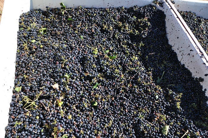 grapes - harvest 2013