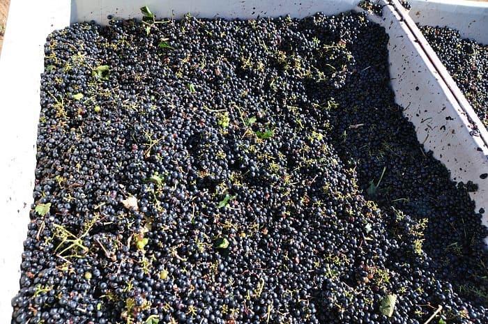 grapes - harvest 2013