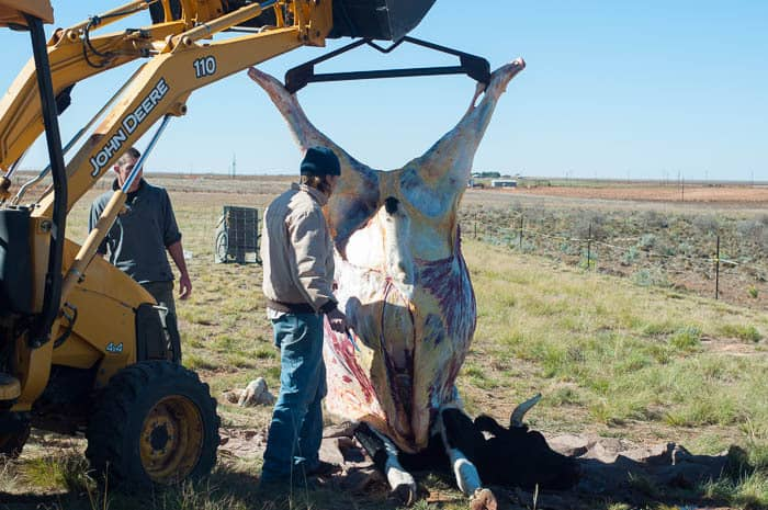 skinning and raising the grass fed beef carcass off the ground to continue the butchering process