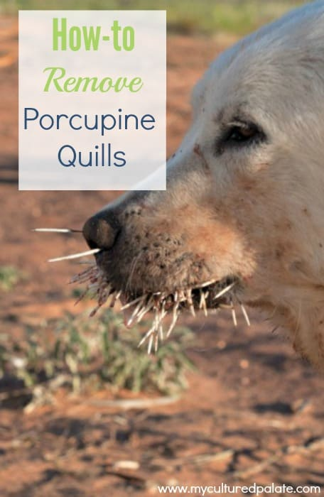 how to remove porcupine quills