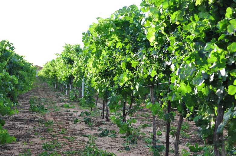 Roussanne after wire raising