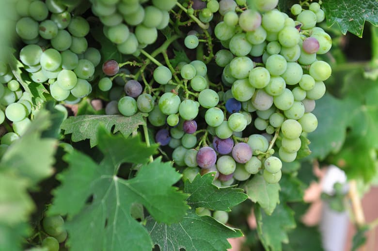 Montepuciano grapes planted in 2009 showing veraison