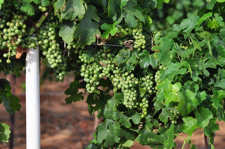 Roussanne grapes planted 2008 showing veraison