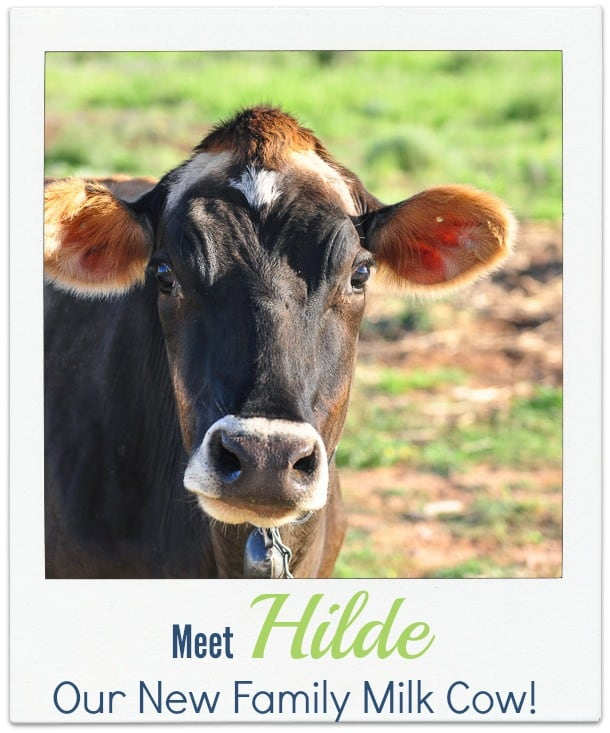 Hilde our new Jersey milk cow