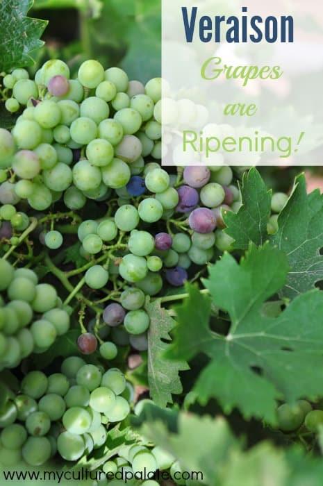 veraison - grapes are ripening