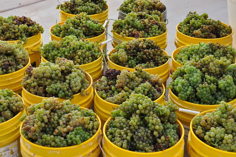 Roussanne Grapes - Hand Harvested