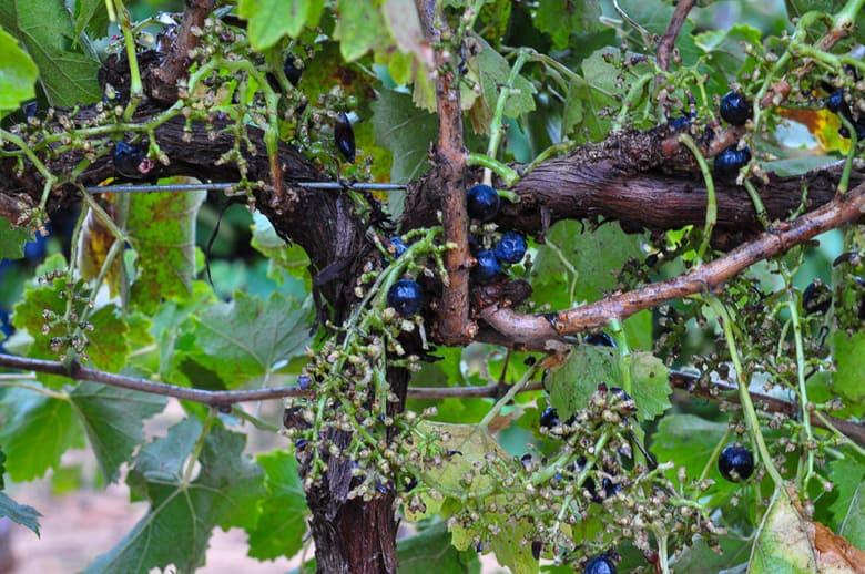 Motepulciano grape vine after harvest