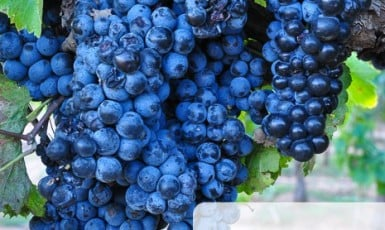 Aglianico Grape Harvest