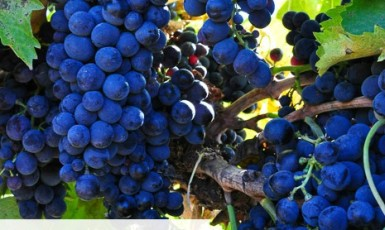 Montepulciano grape harvest