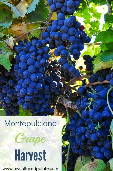 Montepulciano grape harvest