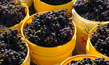 Making Wine at Home from Montepulciano Grapes