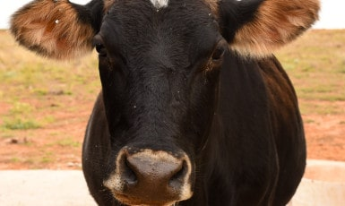 How to Tell if Your Cow is About to Calve