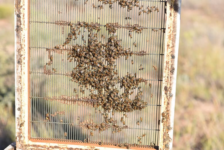 Bees on the Queen Excluder