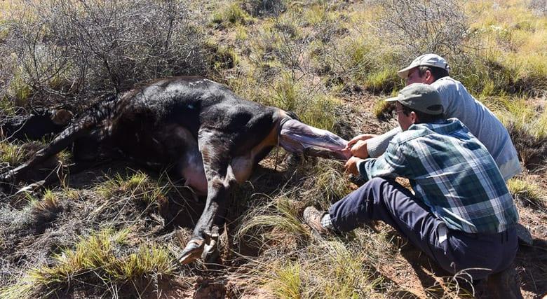 Calving - Pulling a Calf
