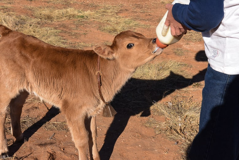 One Week Old Calf Bottle Feeding