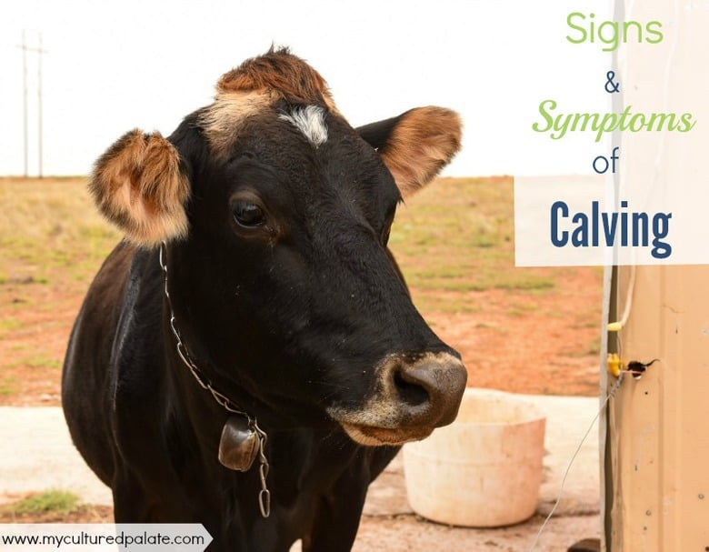 signs and symptoms of calving