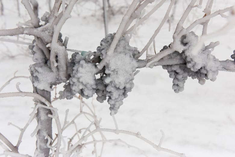 Frozen Grapes in the Vineyard