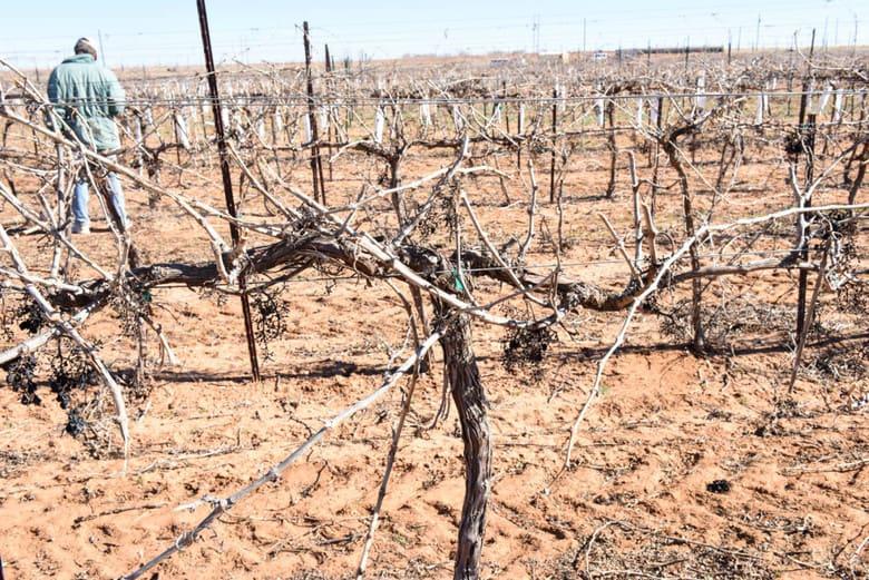 Pruning the Vineyard - Vine before Hand Pruning