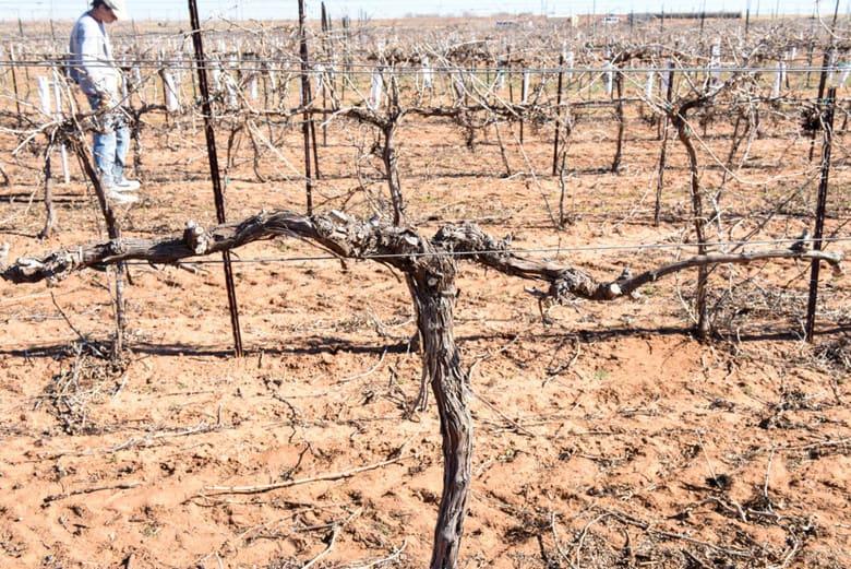 Pruning the Vineyard - Vine After Pruning