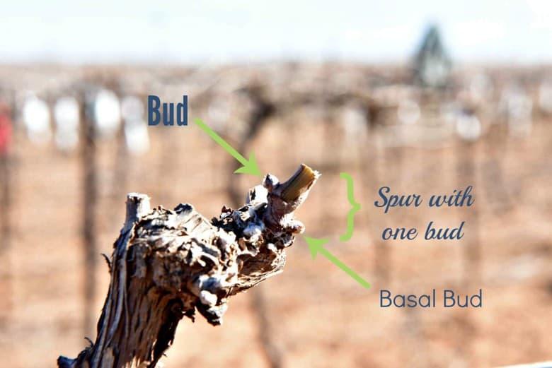 Pruning the Vineyard - one bud spur