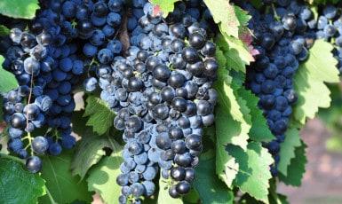 Bottling Montepulciano Wine