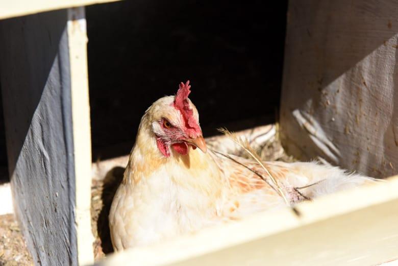 Homemade Chicken Coop and Hen