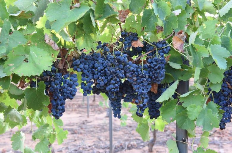 Montepuciano Grapes 2015