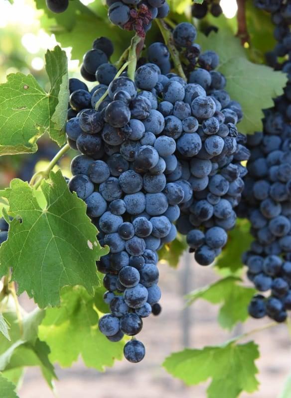 Algianico Grapes