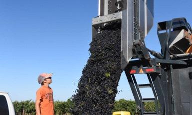 Grape Harvest is Finished!