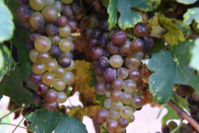 Roussanne Grapes