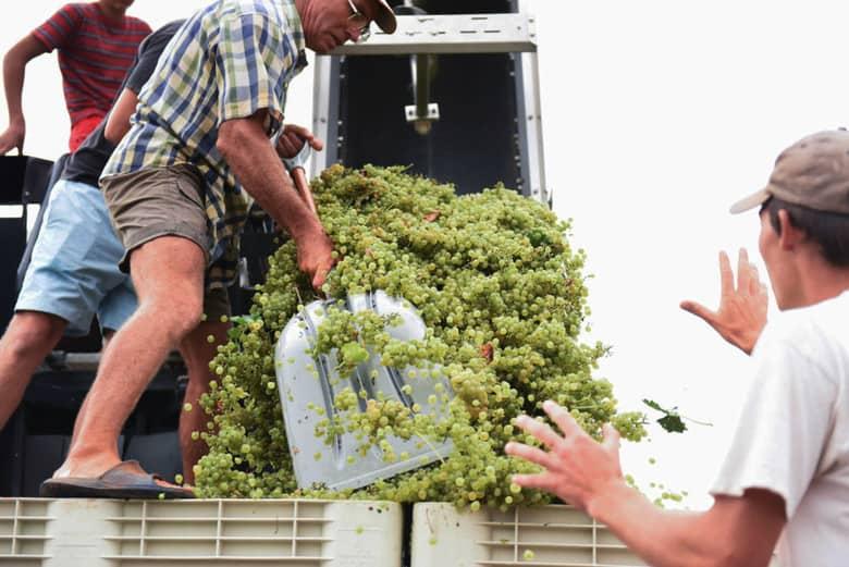 Roussanne Grape Harvest with Pellenc