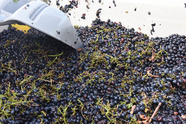 Aglianico Grapes in Bins