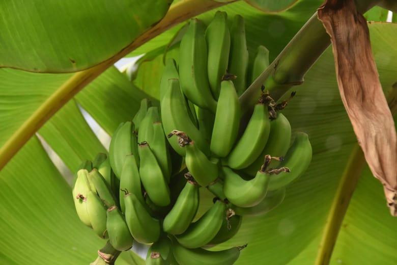 Bananas Growing in Hawaii